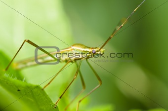 Daddy long legs in green nature