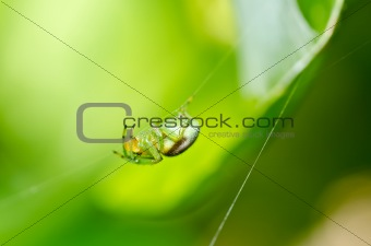 green spider in green nature
