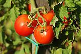 Ripe garden tomatoes