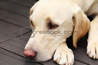 Labrador retriever lying on wood floor