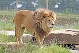 stunning lions