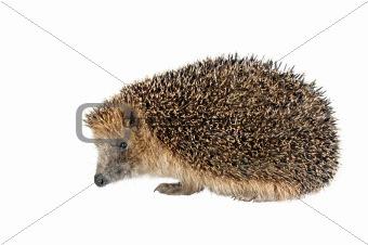 sitting hedgehog