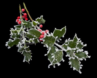 Frosty Holly Stem