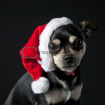 Chihuahua wearing Santa Hat