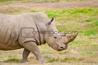Adult Rhino Walking On Dry Grassland