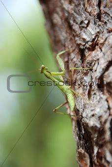 Praying Mantis Climbing Up a Pine Tree