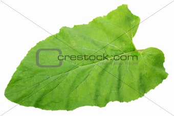 One green isolated leaf