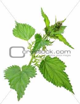 One branch of green nettle