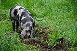 pig with black dots