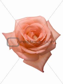 apricot valentine rose