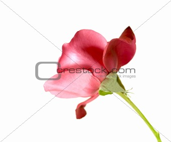 single red rose stem