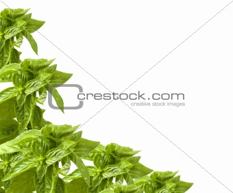basil border background on white