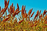 Sorghum field on a blue sky