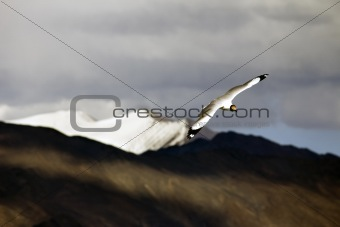 Brown Headed Gul Flying over the mountains