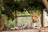 Leopard in His cage