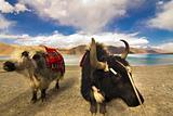 Yaks in front of Pangong Lake