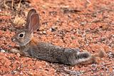 Black Tailed Desert Jack Rabbit