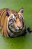 Angry look of Tiger