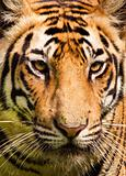 Portrait of a royal bengal tiger