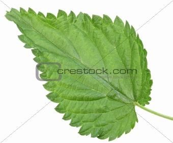 One green leaf of nettle