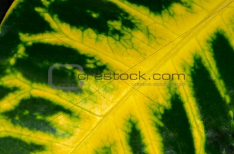 Green leaf with yellow veins