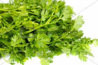fresh coriander (cilantro) herb isolated on a white background