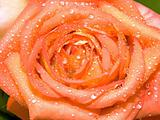 Orange-yellow rose