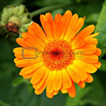 Calendula (Marigold) flower.