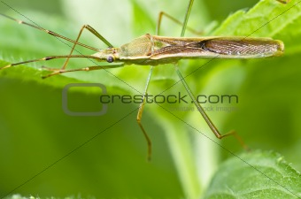 daddy-long-legs in green nature
