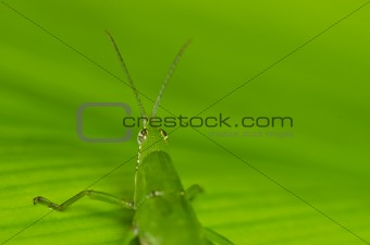 green grasshopper in green nature