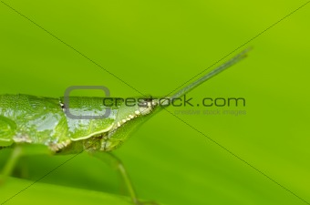 green grasshopper in green nature