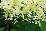 White Hydrangea (Hortensia) in bloom.