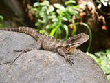 Australian Water Dragon (Physignathus lesueurii)