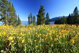 Wildflowers in Grand Tetons