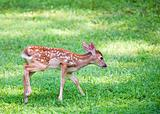 Tail wagging fawn