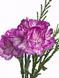 two pink carnation on a white background