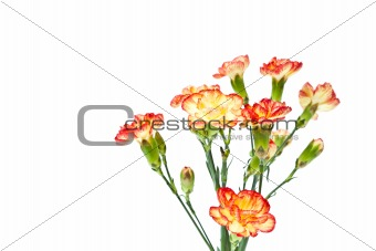 Group of Carnation, Dianthus caruyophyllus