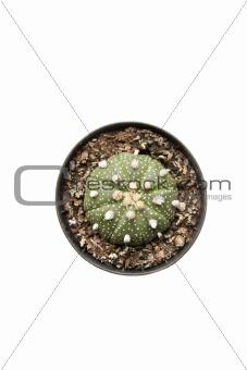 Watermelon shape cactus
