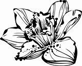 sketch bud Narcissus