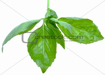 green leaf of basil