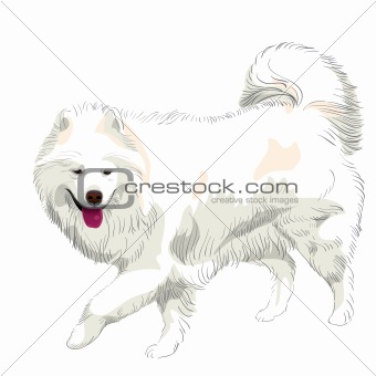 vector purebred Samoyed dog smile
