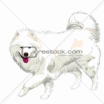 vector purebred Samoyed dog smile