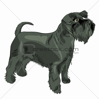 vector black Miniature Schnauzer dog