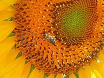 Bee at sunflower