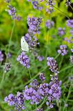 Closeup of lavender flowers with butterfly