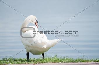 single white swan on the lake shore