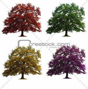four oak trees isolated