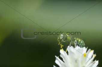 green bee in green nature