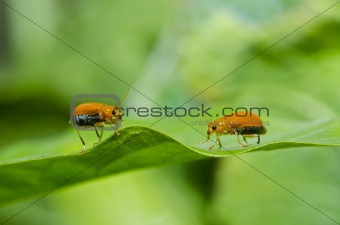 couple orange beetle in green nature