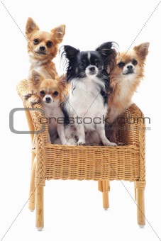 four chihuahuas on a chair